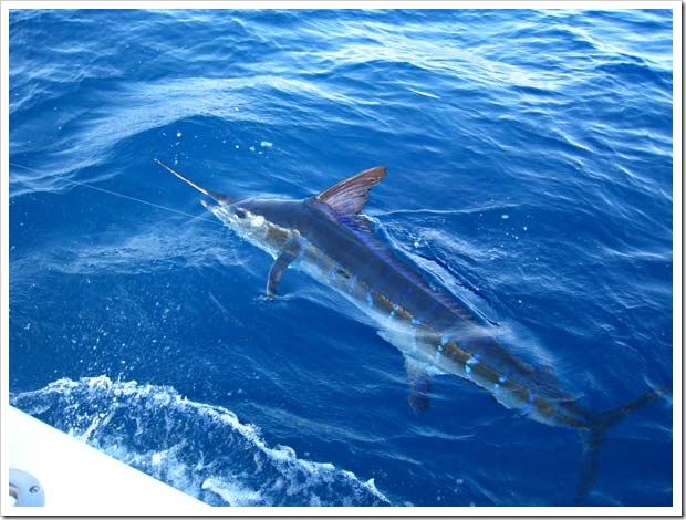 One of the many marlin