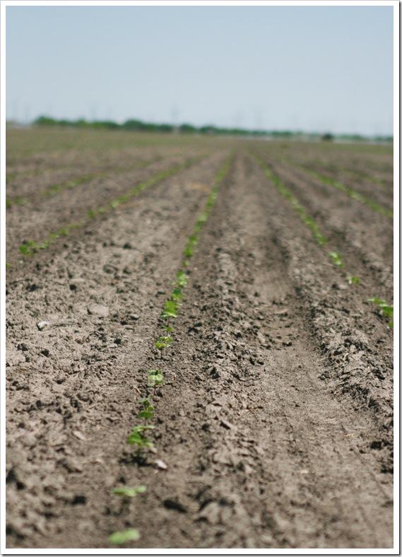 South Texas cotton field
