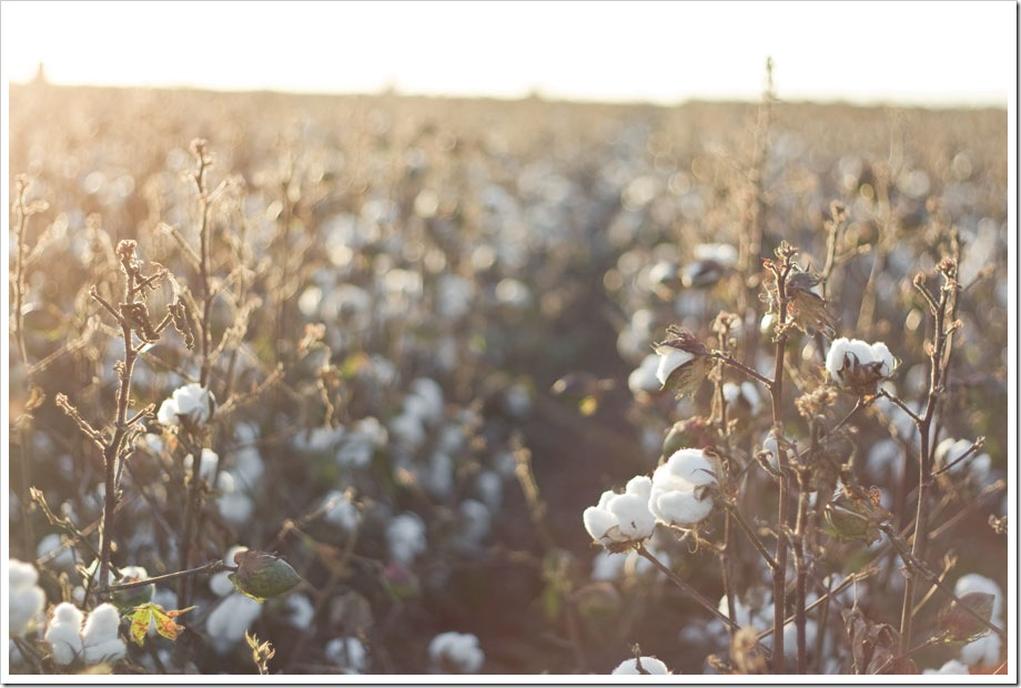 South Texas Cotton