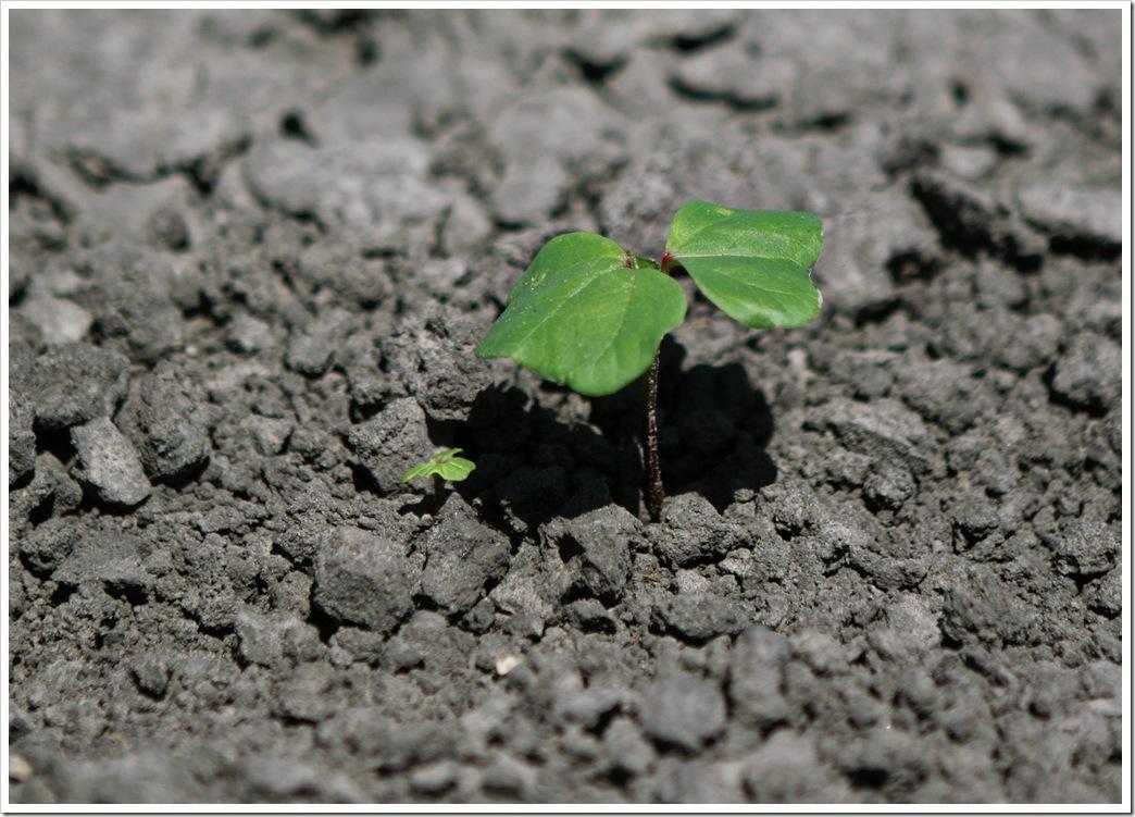 cotton plant seedling