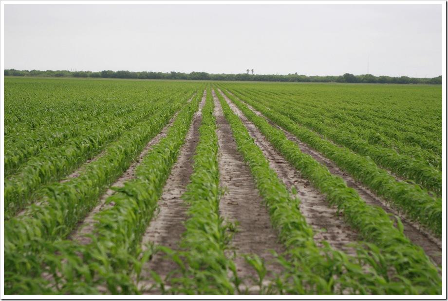 Grain Sorghum   South Texas Farm