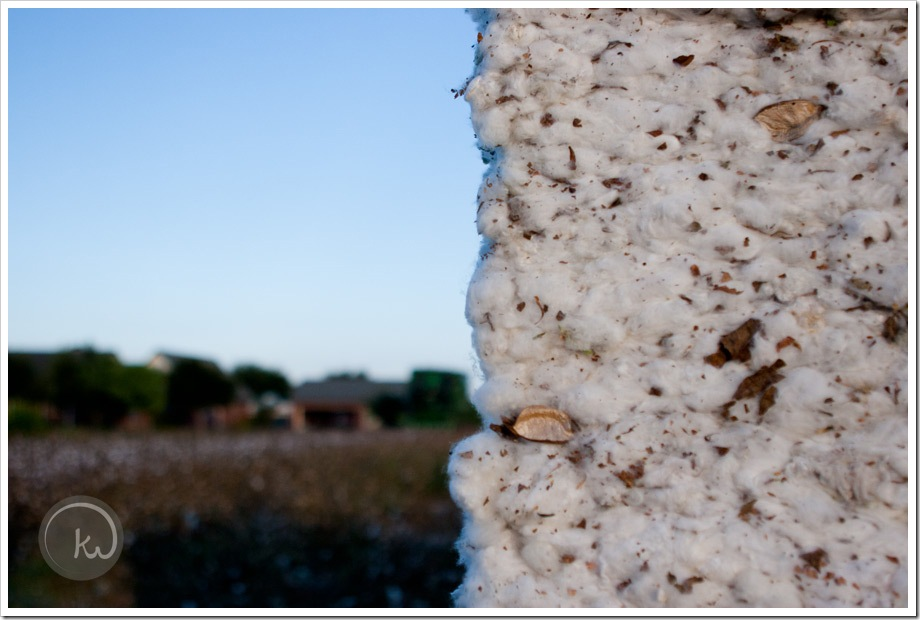 South_Texas_Cotton-week14