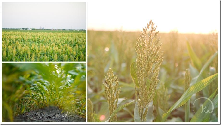grain_sorghum_field