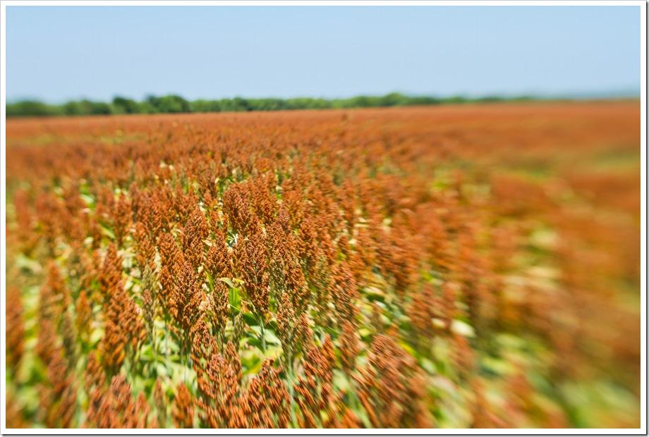 Grain-Sorghum-ready-for-harvest