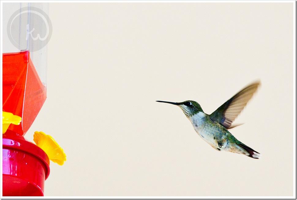 Coastal-Bend-Photographer-Hummingbird